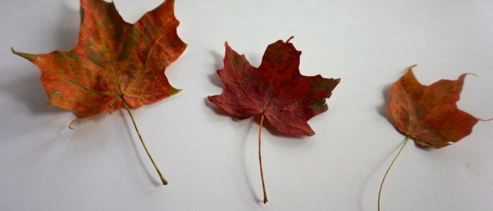 Three red, fall Maple leaves